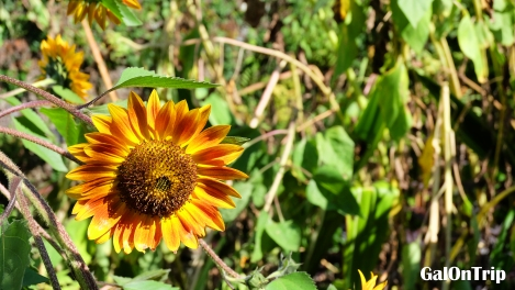 sunflower in bali